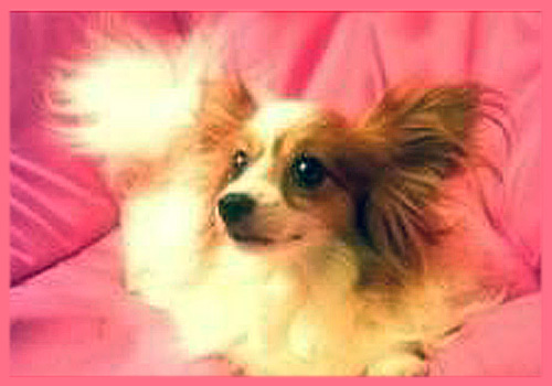 パピヨン 母犬 子犬販売の専門店 AngelWan 横浜