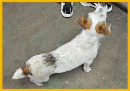 ジャックラッセルテリア 母犬 子犬販売の専門店 AngelWan 横浜