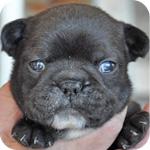 フレンチブルドッグ ダークブリンドル メス 子犬販売の専門店 AngelWan 横浜