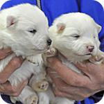 スピッツ メス 子犬販売の専門店 AngelWan 横浜