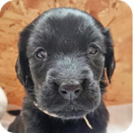 フラットコーテッドレトリバー 子犬販売の専門店 AngelWan 横浜