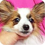 パピヨン オス 子犬販売の専門店 AngelWan 横浜
