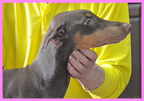 ドーベルマン チョコレートタン メス 子犬販売の専門店 AngelWan 横浜