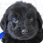 フラットコーテッドレトリバー オス 子犬販売の専門店 AngelWan 横浜