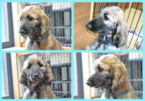 アフガンハウンド ゴールド オス 子犬販売の専門店 AngelWan 横浜