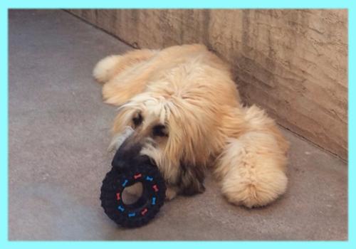アフガンハウンド ゴールド ブラックマスク オス 子犬販売の専門店 AngelWan 横浜