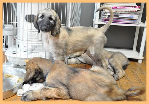 アフガンハウンド 子犬販売の専門店 AngelWan 横浜