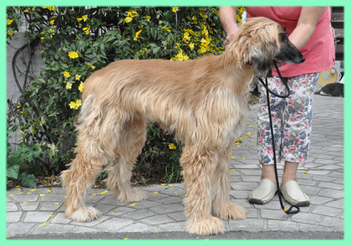 アフガンハウンド 母犬 子犬販売の専門店 AngelWan 横浜