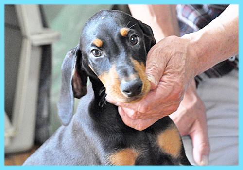 ドーベルマン ブラックタン オス 子犬販売の専門店 AngelWan 横浜