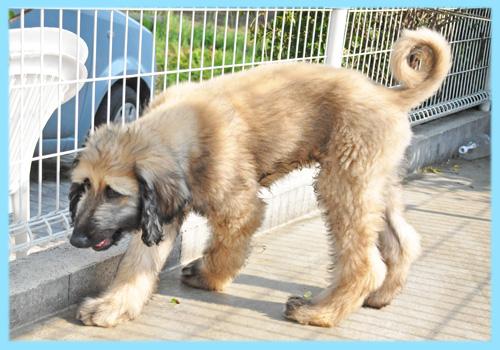 アフガンハウンド フォーン オス 子犬販売の専門店 AngelWan 横浜