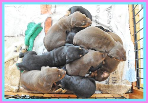 ドーベルマン 子犬販売の専門店 AngelWan 横浜