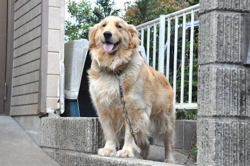ゴールデンレトリバー ブリーダー 子犬販売の専門店 AngelWan