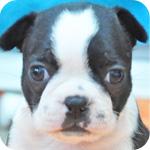 ボストンテリア メス 子犬販売の専門店 AngelWan 横浜
