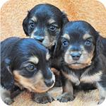 ミニチュアダックスフンド ブラックタン オス 子犬販売の専門店 AngelWan 横浜