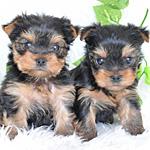 ヨークシャテリア メス 子犬販売の専門店 AngelWan 横浜