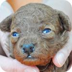 トイプードル レッド 子犬販売の専門店 AngelWan 横浜
