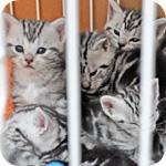 アメリカンショートヘア シルバータビー 子犬・子猫販売の専門店 AngelWan 横浜