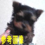 ヨーキー 子犬販売の専門店 AngelWan ブリーダー
