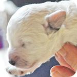 トイプードル ホワイト メス 子犬販売の専門店 AngelWan 横浜