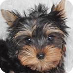 ヨークシャテリア オス 子犬販売の専門店 AngelWan 横浜