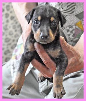 ドーベルマン メス ブラックタン 子犬販売の専門店 AngelWan 横浜