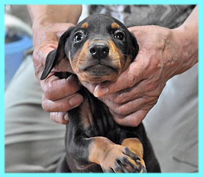 ドーベルマン オス ブラックタン 子犬販売の専門店 AngelWan 横浜