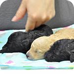 トイプードル オス 子犬販売の専門店 AngelWan 横浜