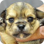 チワワ ロングコート フォーン オス 子犬販売の専門店 AngelWan 横浜