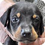 ドーベルマン オス ブラック&タン 子犬販売の専門店 AngelWan 横浜