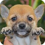 柴犬 豆柴 メス 子犬販売の専門店 AngelWan 横浜