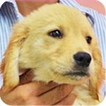 ゴールデンレトリバー メス 子犬販売の専門店 AngelWan 横浜