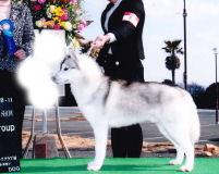 ブリーダー 子犬販売の専門店 AngelWan シベリアンハスキー