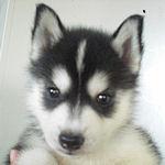 シベリアンハスキー 子犬販売の専門店 AngelWan 横浜 ブリーダー