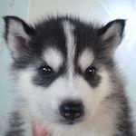 シベリアンハスキー ブリーダー 子犬販売の専門店 AngelWan 横浜