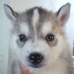 シベリアンハスキー ブリーダー 子犬販売の専門店 AngelWan