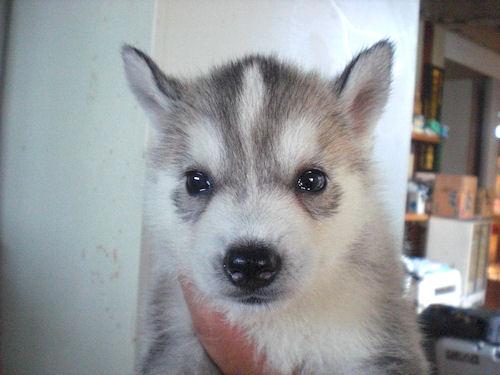 SiberianHusky ブリーダー 子犬販売の専門店 AngelWan