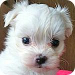 マルチーズ ホワイト メス 子犬販売の専門店 AngelWan 横浜