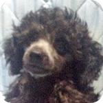 トイプードル シルバー オス 子犬販売の専門店 AngelWan 横浜