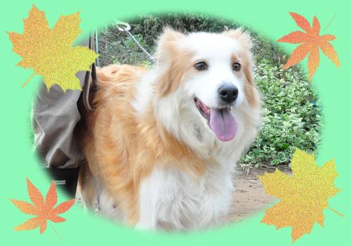 ボーダーコリー 母犬 子犬販売の専門店 AngelWan 横浜