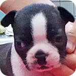 ボストンテリア オス 子犬販売の専門店 AngelWan 横浜