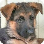 ジャーマンシェパード メス 子犬販売の専門店 AngelWan 横浜