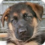 ジャーマンシェパード オス 子犬販売の専門店 AngelWan 横浜