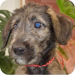 アイリッシュウルフハウンド メス 子犬販売の専門店 AngelWan 横浜