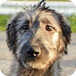 アイリッシュウルフハウンド オス 子犬販売の専門店 AngelWan 横浜