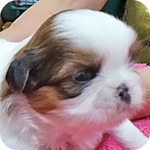 シーズー メス 子犬販売の専門店 AngelWan 横浜