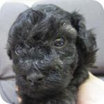 トイプードル ブラック オス 子犬販売の専門店 AngelWan 横浜