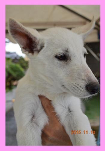ホワイトシェパード メス 子犬販売の専門店 AngelWan 横浜