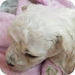 トイプードル ホワイト オス 子犬販売の専門店 AngelWan 横浜