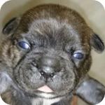 フレンチブルドッグ ブリンドル メス 子犬販売の専門店 AngelWan 横浜