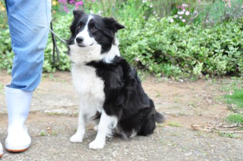 ボーダーコリーの母犬 ブラック&ホワイト ブリーダー